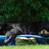 Que calor! Urso invade quintal e dorme na piscina