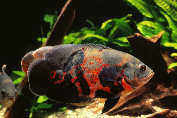 Oscar Fish Care Guide And Breeding