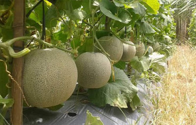 Cara Budidaya Buah Melon