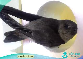 Tiếng chim yến non rỏ ràng nhất.