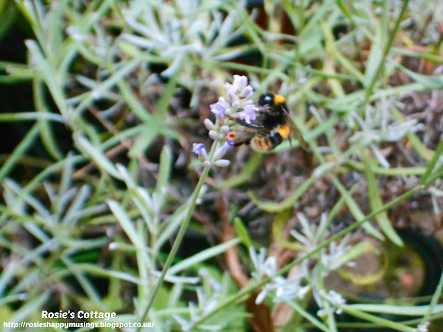 Counting my blessings: The lavender in our garden is very popular with precious garden guests.