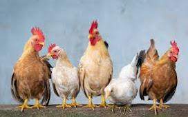 الافترا س فى الدجاج او البط