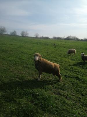 gebe koyun nasıl anlaşılır