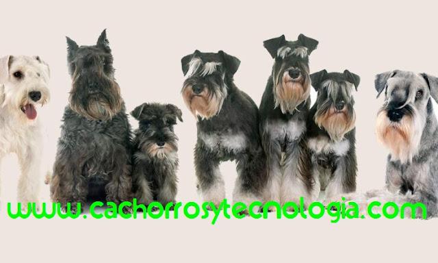 SCHNAUZER Sepa todo sobre la raza del perro cachorros y tecnologia