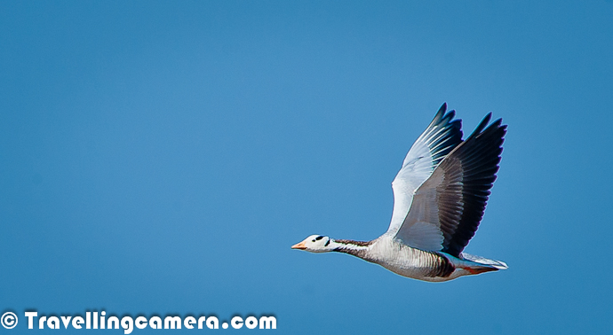 Here is a photograph of Bar Headed Goose found flying around Pong Dam Lake, which is one of the favorite wetland among migratory birds. This is not something very rare in winters, as Bar Headed Goose comes to this wetland every year in flocks of thousands. Bar Headed Goose is dominant migratory bird in Pong Dam Lake in Kangra. These birds are mainly found around green fields and can be harmful for local crops at timesFor more Photoraphs and details about Bar Headed Goose, check out http://phototravelings.blogspot.in/2012/02/bar-headed-goose-dominant-bird-species.html