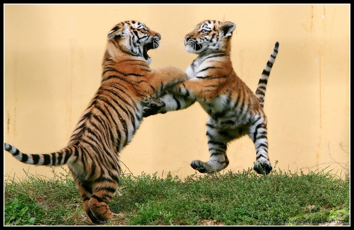 Tiger cubs playing in wild