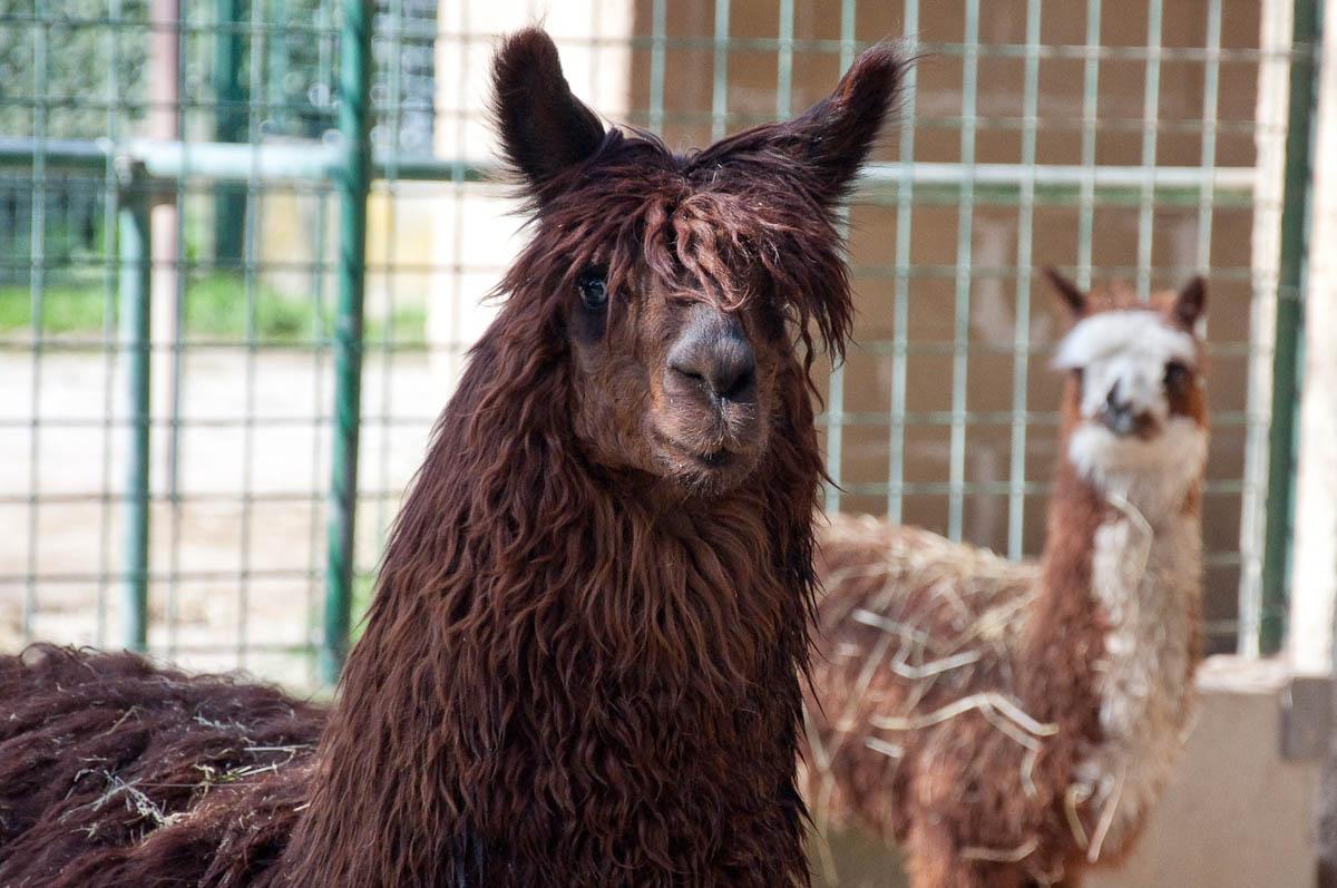 Llamas, Parco Faunistico Cappeller, Nove, Veneto, Italy