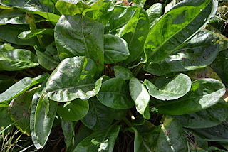 Non-flowering garden sorrel