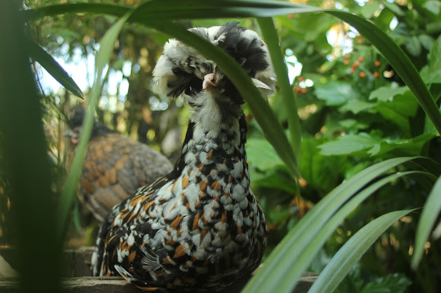 Polish crested Tolbunt hen in our organic forest garden