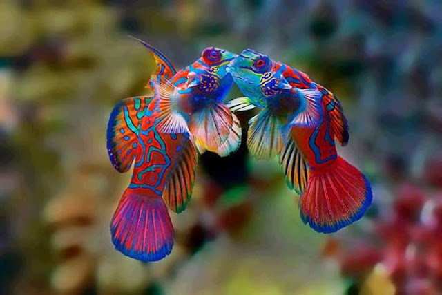 . Ikan Mandarin