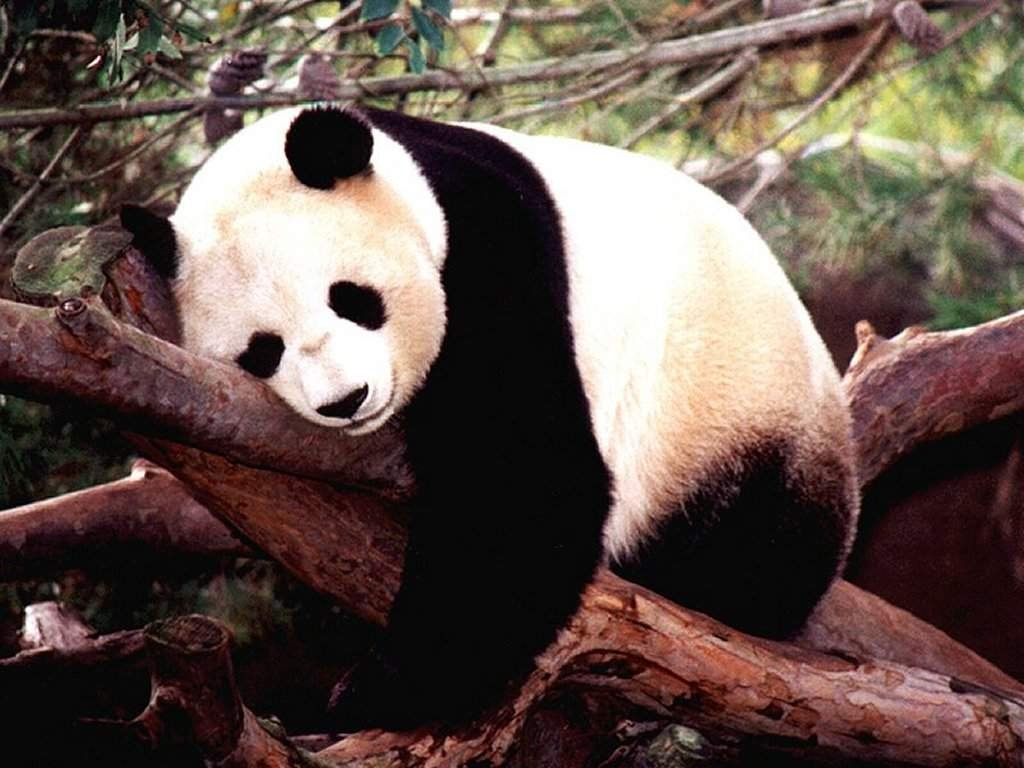 Free Cool Wallpapers: giant panda