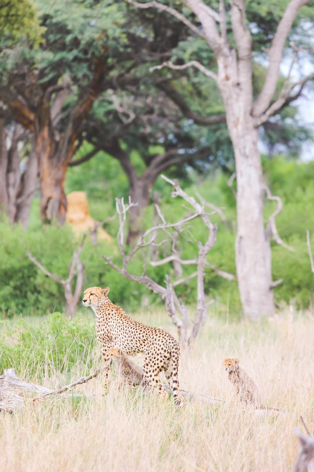 Photo Diary: Hwange National Park's Cheetah Family of Three