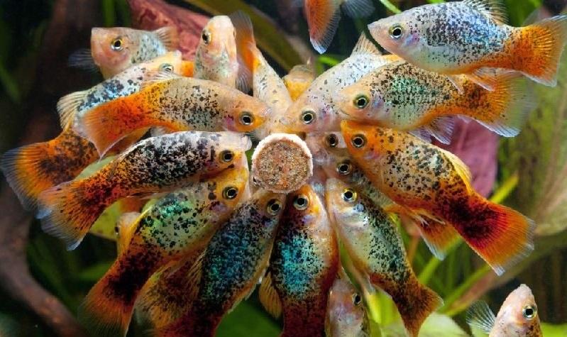 Ikan Platy - Ikan Hias yang Kuat Hidup Tanpa Oksigen