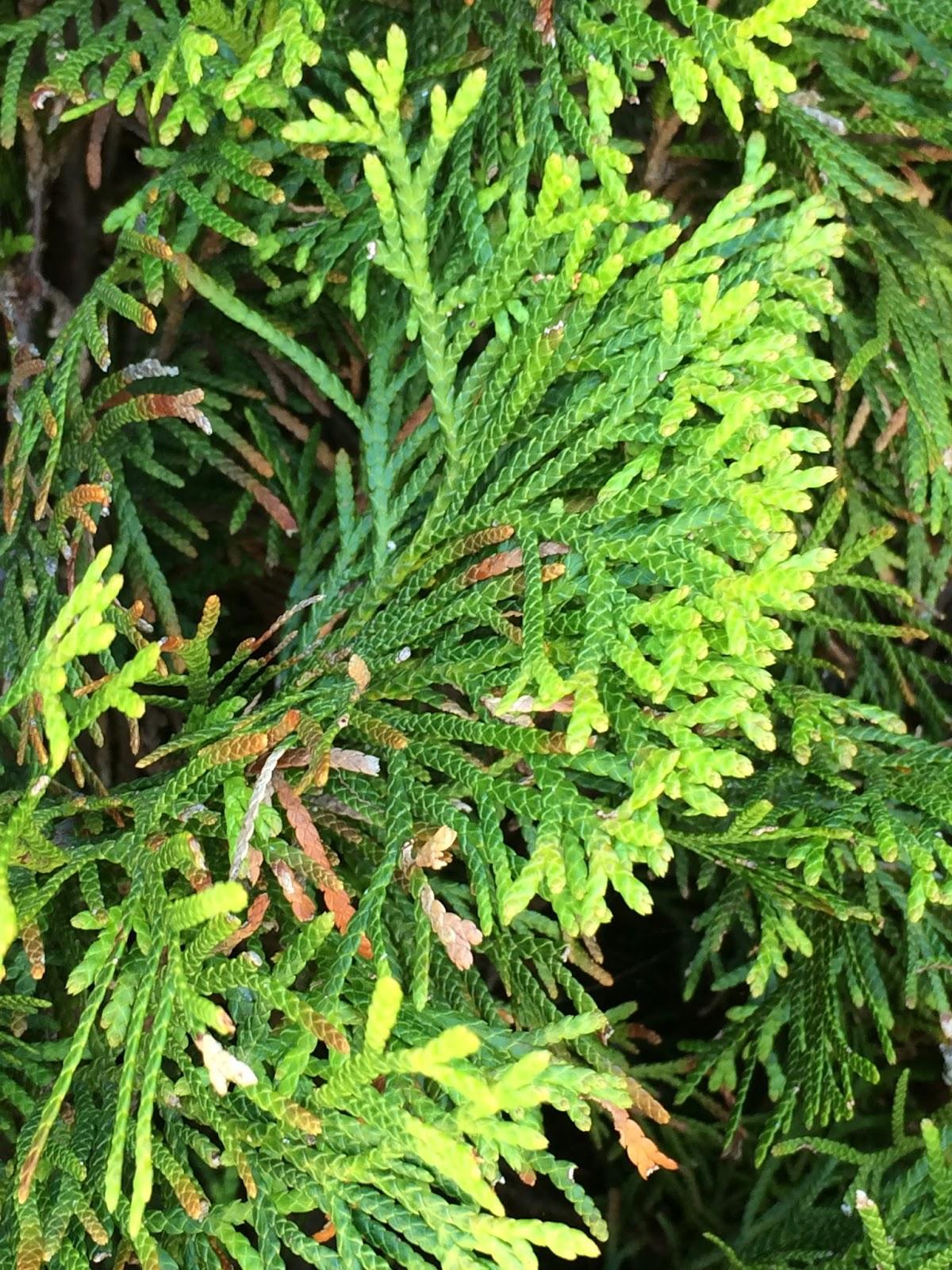 trees of santa cruz county thuja occidentalis 39 smaragd 39 emerald arborvitae. Black Bedroom Furniture Sets. Home Design Ideas