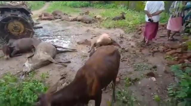 बिलासपुर : तखतपुर ब्लाक के मेड़पार बाजार गांव में 50 गायों की मौत.. कलेक्टर ने दिए एफआइआर के आदेश..