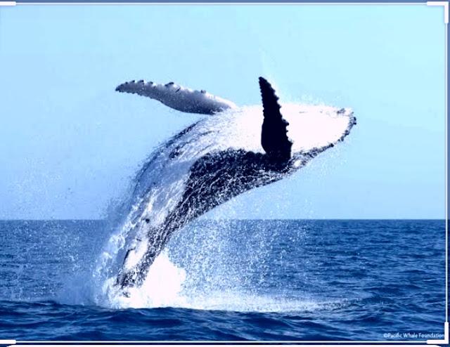 صوت الحوت الأزرق
