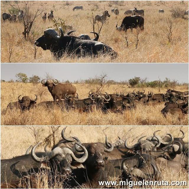 Safari-por-libre-en-Kruger-Shukuza-Bufalo