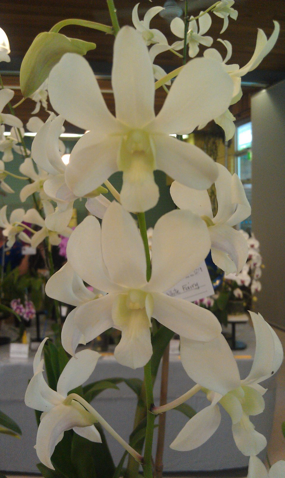 Plant Photography: Dendrobium White Fairy Orchid Cultivar