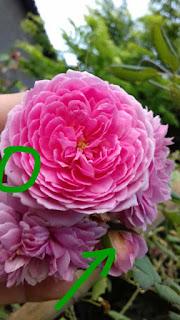bọ trĩ trên hoa hồng