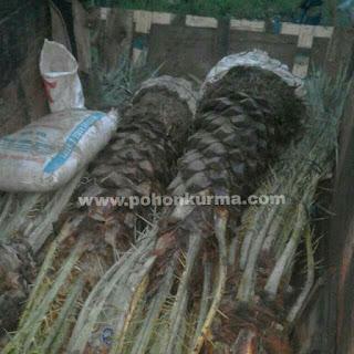 pohon palem kurma ready stock