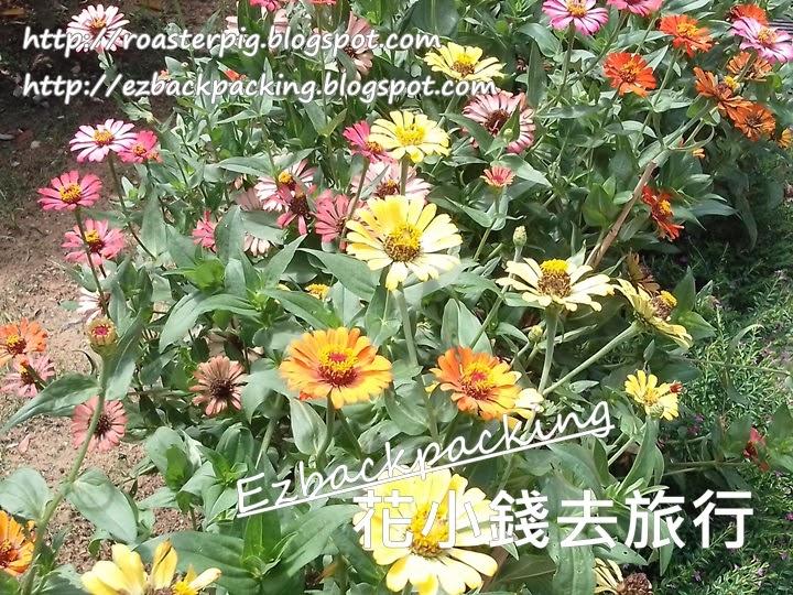 康樂公園魚尾菊