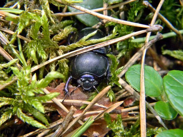 chrząszcz, las, ściółka, mech
