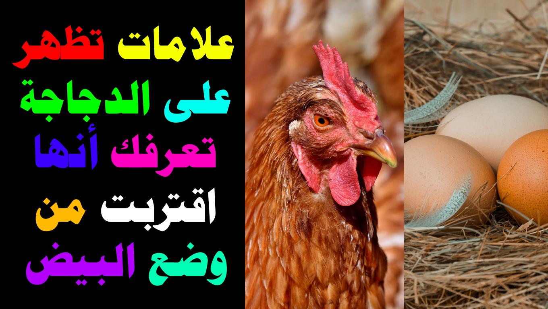 علامات تظهر على الدجاجة تعرفك أنها اقتربت من وضع البيض