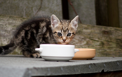 tabby kitten sitting behind white cat food bowl
