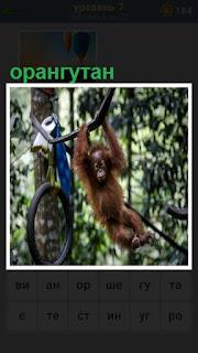 на проволоке висит и играет орангутан