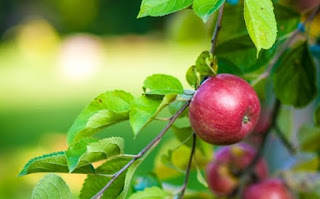 सेब के पौधे की जानकारी ▷ some facts about apple in hindi