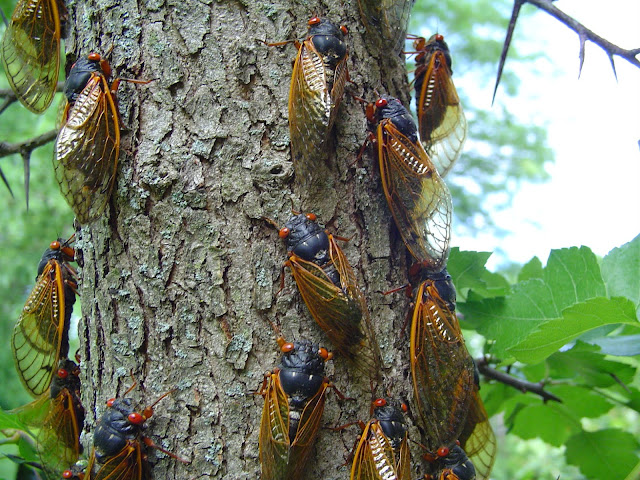 17 year cicadas returning in 2021! Photo from 2004