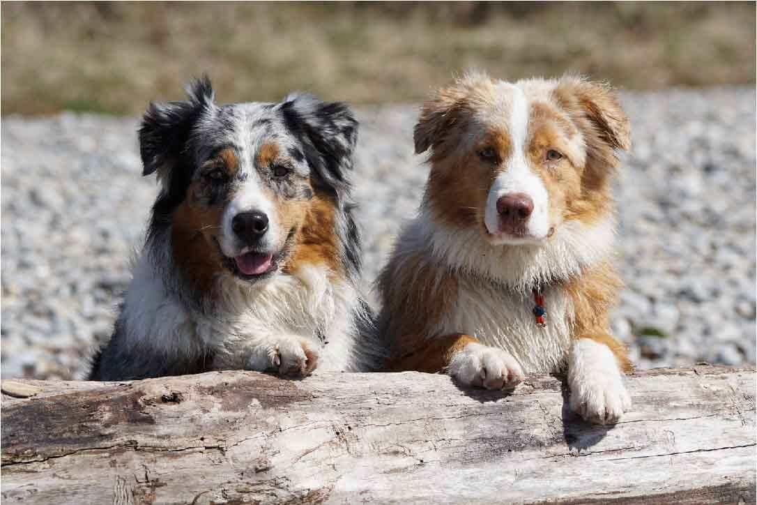 le chien berger australien miniature, police d'assurance, mutuelle chien, assurance chien, assurance pour animaux de compagnie, assurance pour animaux domestiques, assureur,