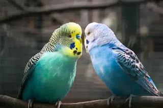 نبذة مختصرة عن طيور البادجي ( أساسيات التربية باختصار )