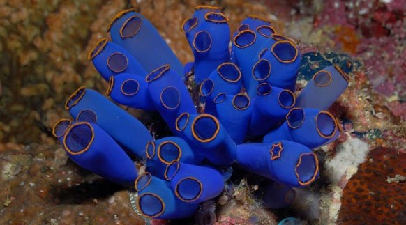 blue sea squirt