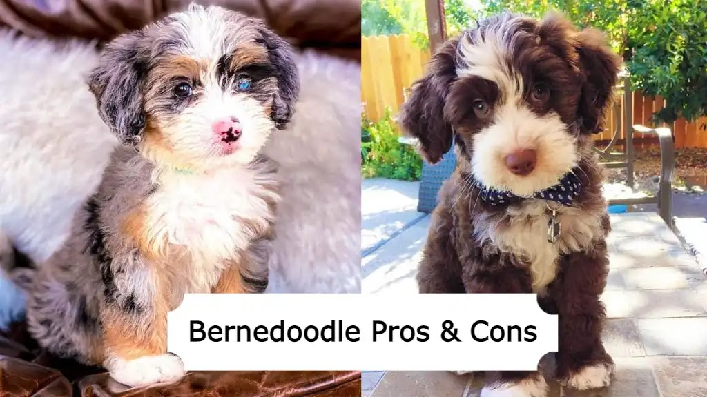 bernedoodle-pros-and-cons