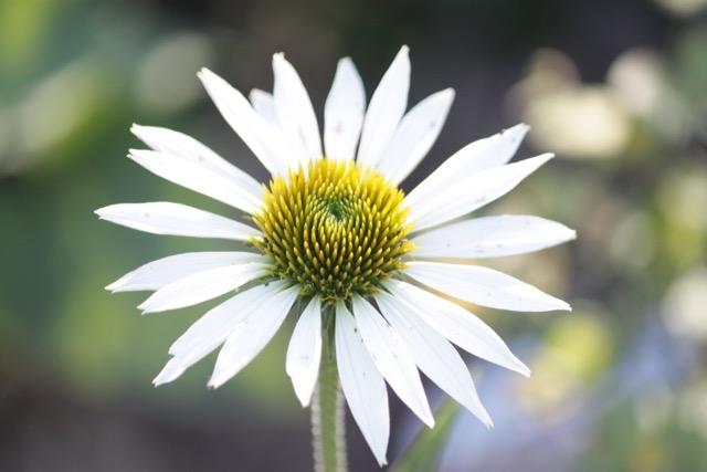 Echinacea Pupurea blanche