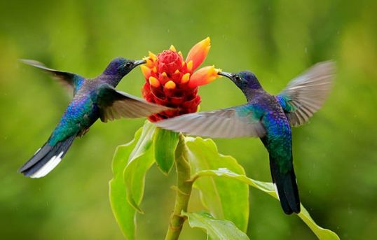 cara memaster burung kolibri