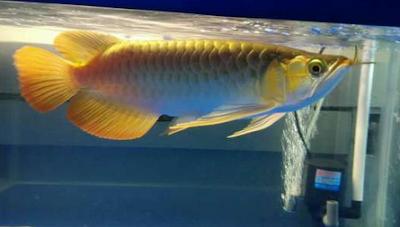 Tips Cara Memilih Ikan Arwana Super Red Anakan Yang Bagus Dan Berkualitas