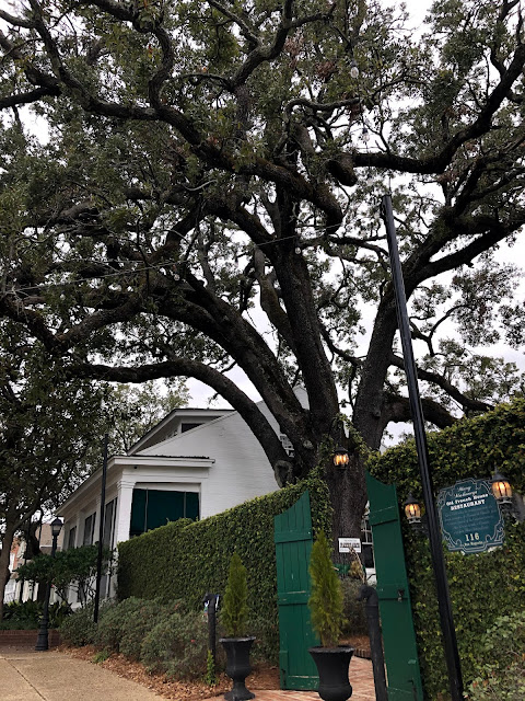old oak tree in a courtyard
