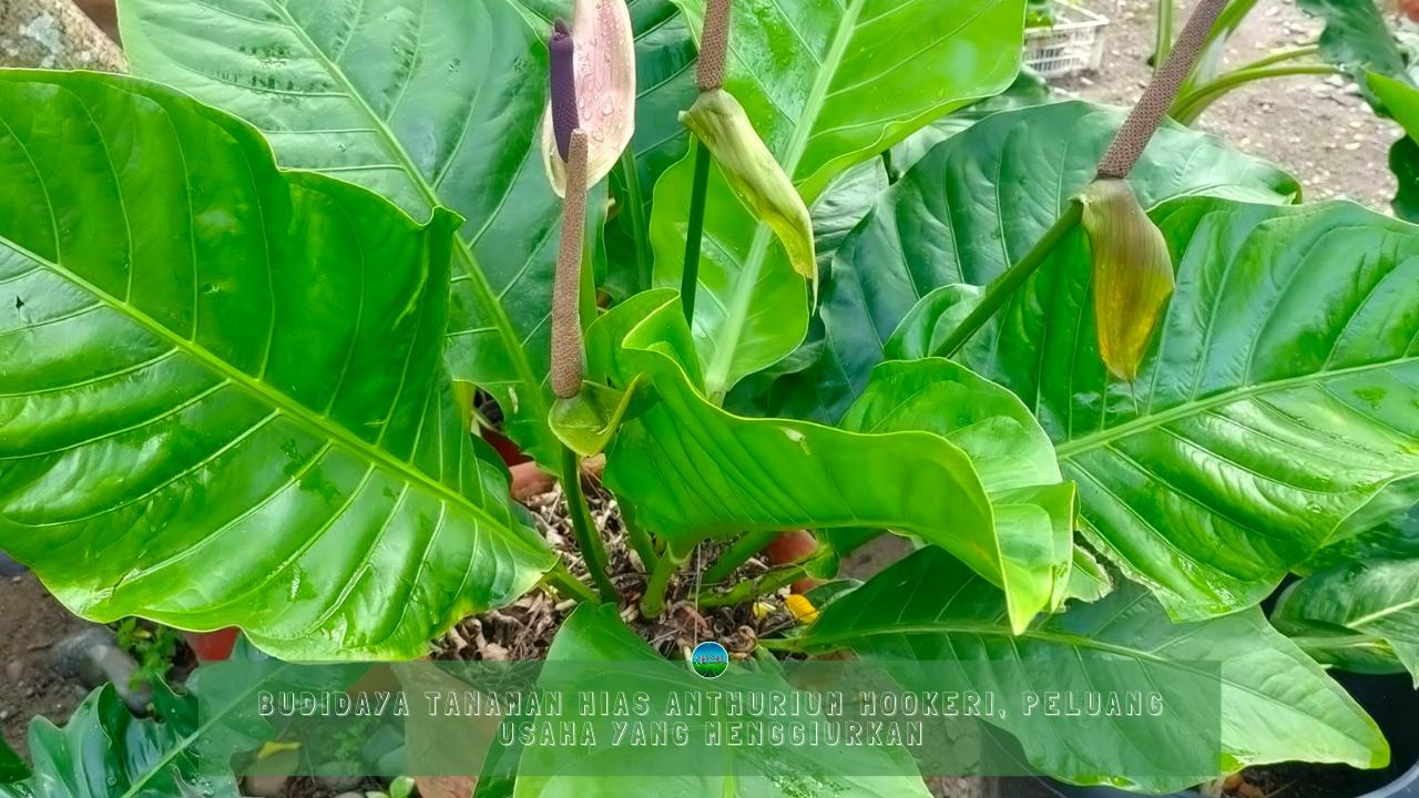 Budidaya Tanaman Hias Anthurium Hookeri, Peluang Usaha yang Menggiurkan