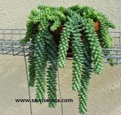 tanaman hias gantung untuk dekorasi rumah - sawi selada