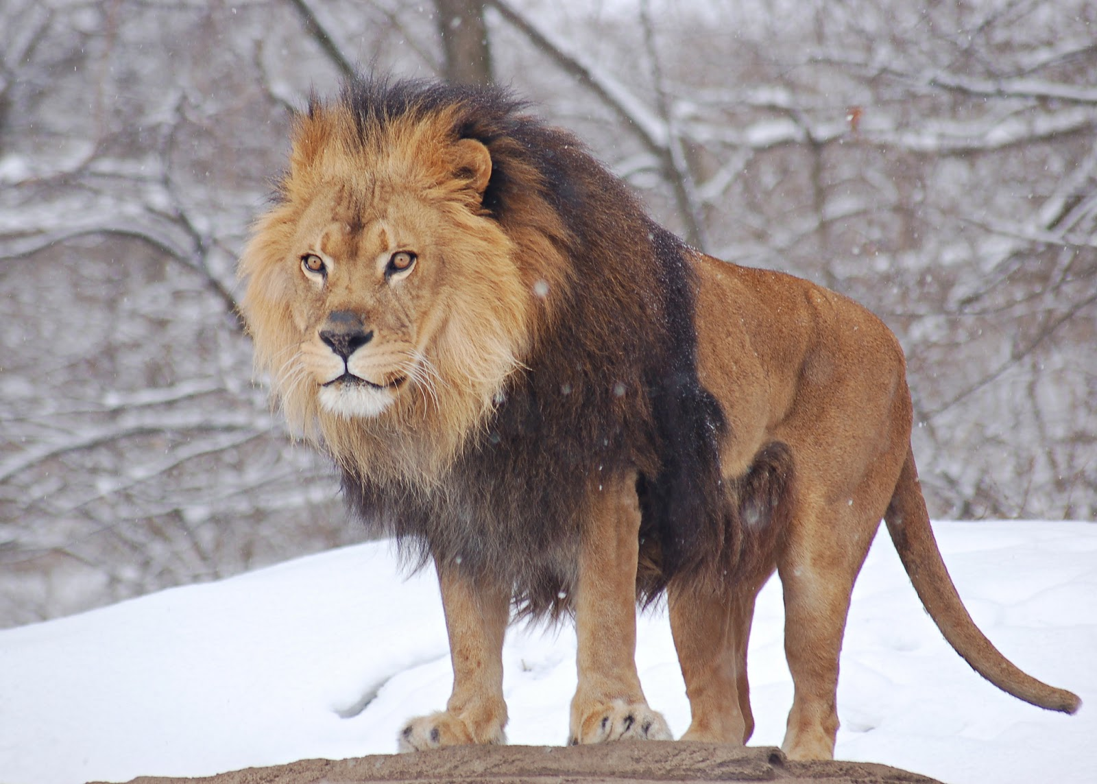 Wallpapers Million Free Visitors Indian Lion And African Lion And