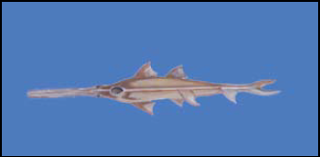 Large-tooth Sawfish, Pristis microdon