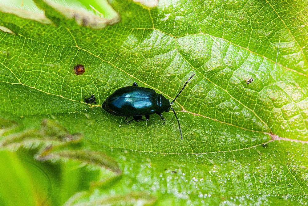 Unknown beetle - Lodge Lake, Milton Keynes