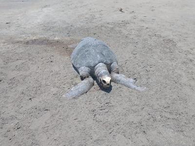 PAULISTA - Tartaruga marinha é encontrada morta na praia; O cadáver do animal foi removido e enterrado em Maria Farinha