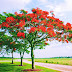 [2021] Gulmohar Tree: Benefits, Uses, Images and so on