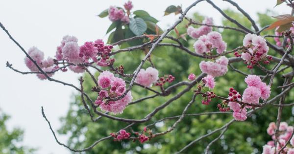 Sakura Jepang (Prunus serrulata 'Kwanzan')