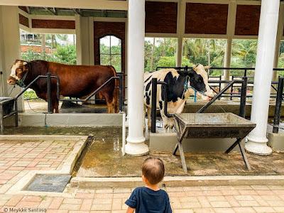 Lihat sapi di Cimory On The Valley Semarang