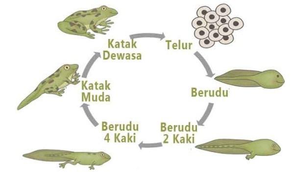 Metamorfosis katak
