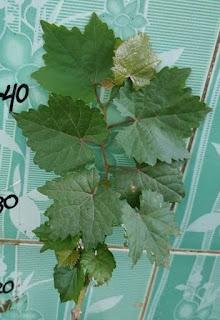 contoh bentuk daun anggur bogema